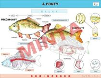 A Ponty
