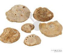 Ammoniták, 6 példány