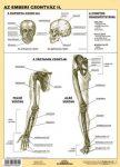 Az emberi csontváz II. DUO